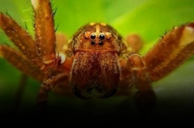 Bu örümcek dünyanın en tehlikelisi... Tek ısırıkla acı çektirerek öldürüyor