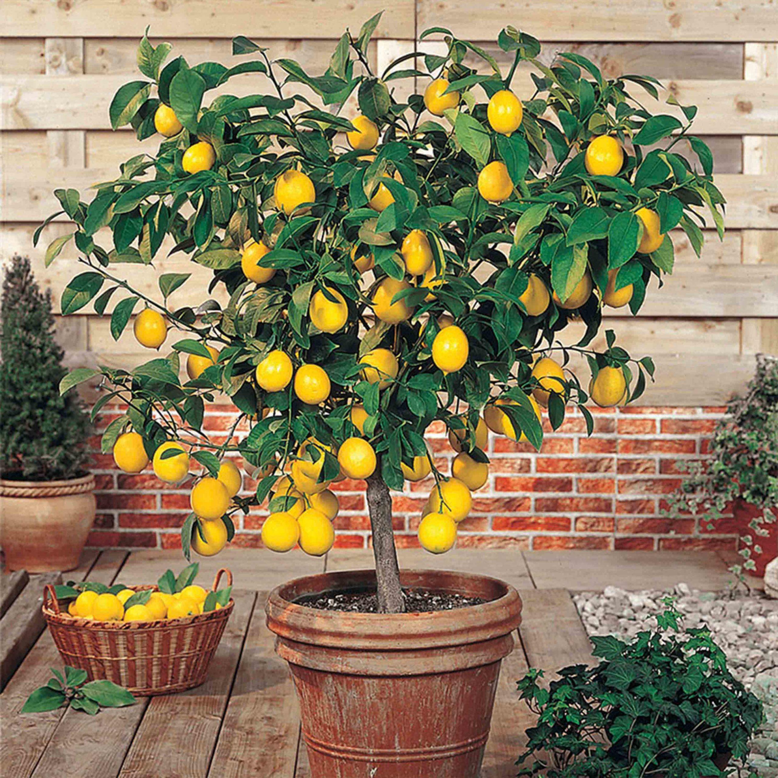 Limon Ağacı Bakımı Nasıl Yapılır, Hangi İklimi Sever?