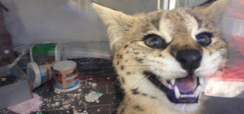 Fiyatı dudak uçuklattı! Yurt dışından getirilen kedi karantinaya alındı