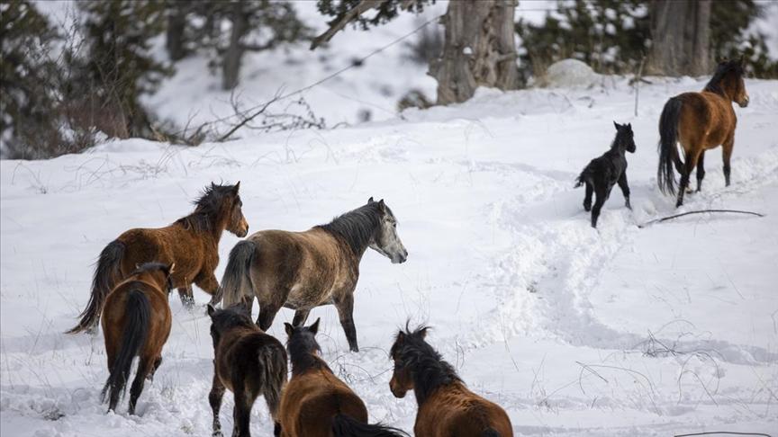 Toroslar'da yabani at popülasyonu artıyor