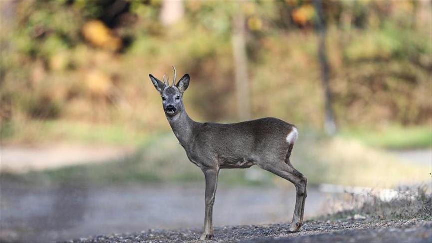 İstanbul'un yaban hayatı özel üretilen geyik, karaca ve sülünlerle zenginleşiyor