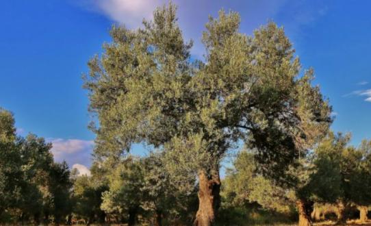 Asırlık zeytin ağacının verimindeki sır