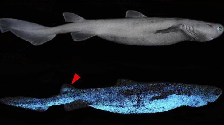 Karanlıkta parlayan köpek balığı bulundu
