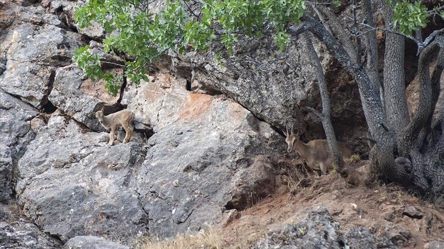 Munzur Vadisi Milli Parkı yaban keçisi yavrularıyla şenlendi