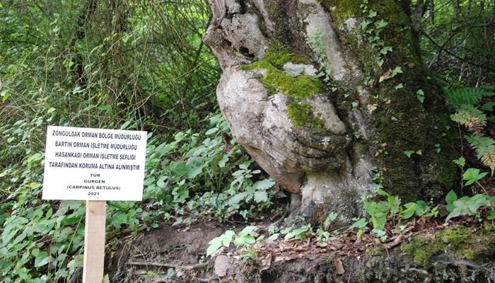 Bartın'daki el figürlü ağaç, koruma altına alındı