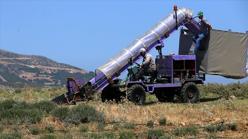 Lavanta hasadı için işçi bulmakta zorlanan hekim, hasat makinesi geliştirdi