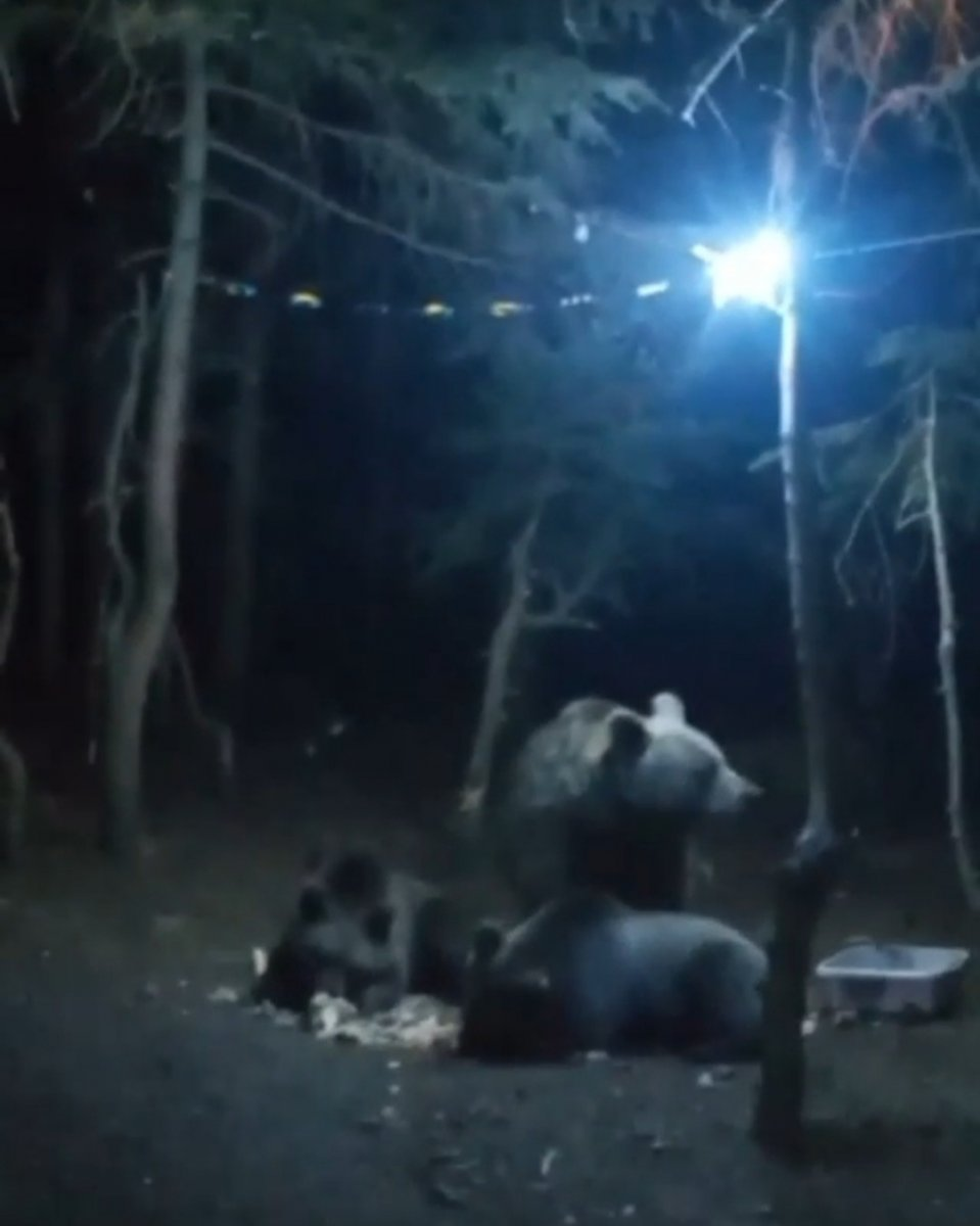 Uludağ'da aç ayılar, kamp alanına indi