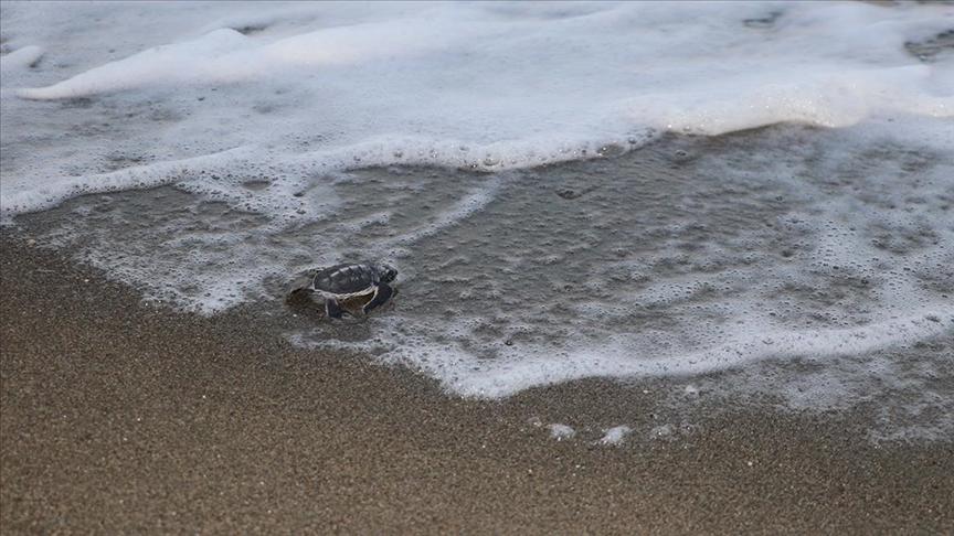 Hatay'da yeşil deniz kaplumbağalarının yuva sayısındaki artış sevindirdi
