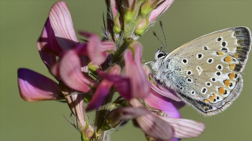 Van Gölü havzası 230 kelebek türüne ev sahipliği yapıyor
