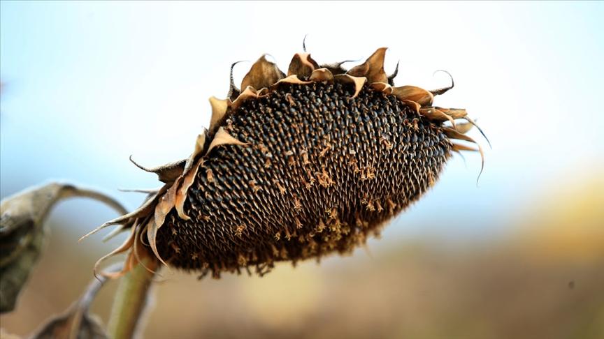 Trakya'da ayçiçeği hasadında sona yaklaşıldı