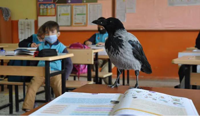 Sınıfa bile giriyor: Amasya bu karga'yı konuşuyor